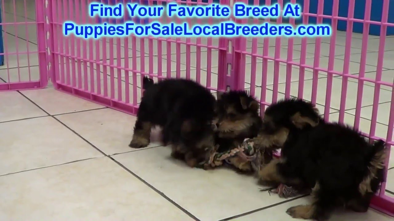 Yorkshire Terrier Yorkie Puppies For Sale In Charleston South