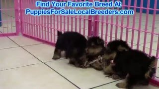 Yorkshire Terrier Puppies For Sale Local Breeders