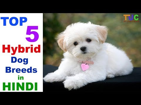 Top 5 Hybrid Dog Breeds - Hybrid Dog Breeds - Dog Information - The Ultimate Channel