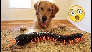 Sammie vs Giant Centipede! Golden Retriever Puppy! Funny Dog Toy | Playtime Fun Vlog
