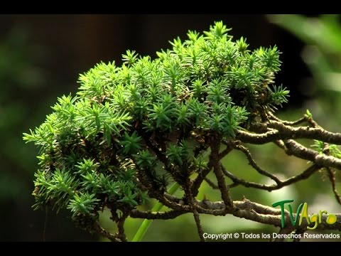 How to Produce Bonsai Trees - TvAgro por Juan Gonzalo Angel