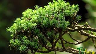 How to Produce Bonsai Trees - TvAgro por Juan Gonzalo Angel