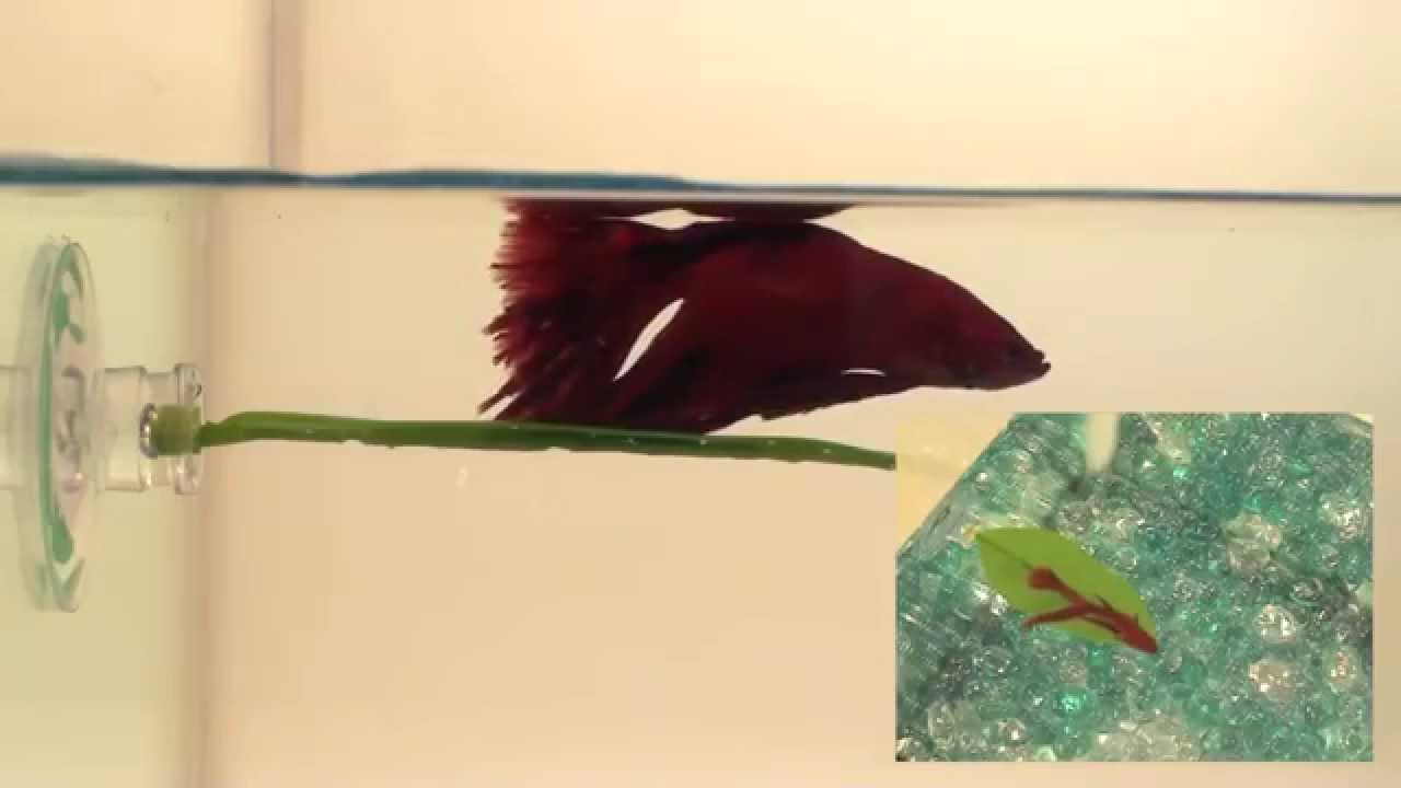 Zoomed Betta Bed Leaf Hammock Big Al 39 S Youtube