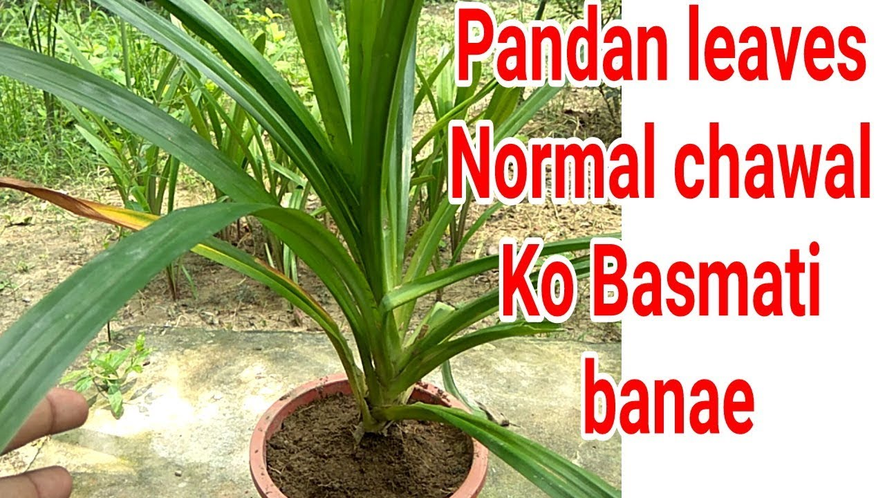 Aromatic Basmati Leaves Plant Pandan Tips Care