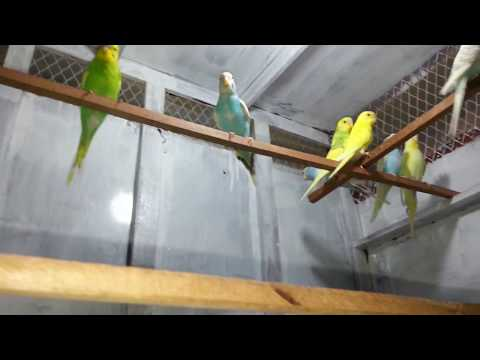 Made a Colony of Australian Parrots thumbnail