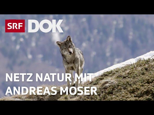 Erklärungen zum Wolf | NETZ NATUR mit Andreas Moser | Doku | SRF DOK