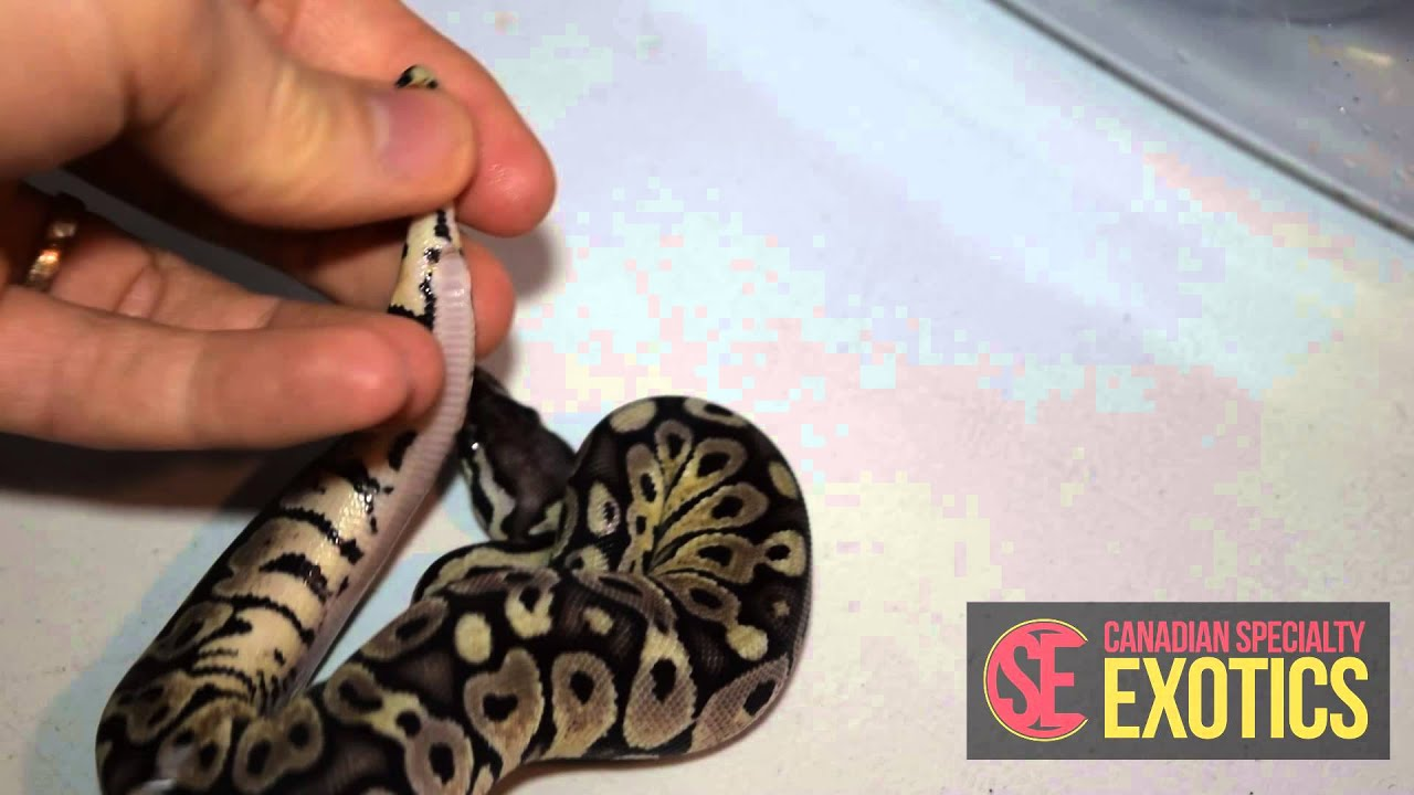 How to tell the sex of a ball python