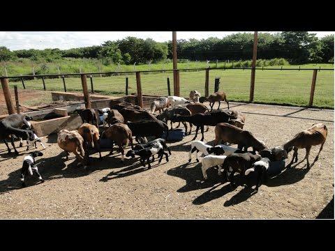 Curso Alimentação de Ovinos de Corte - Manejo dos Ovinos em Pastagens