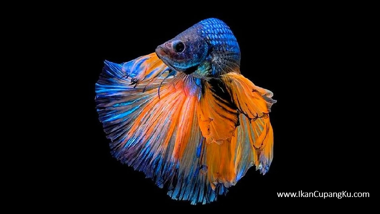 Wallpaper Betta Fish Kumpulan Foto Gambar Wallpaper Ikan Cupang