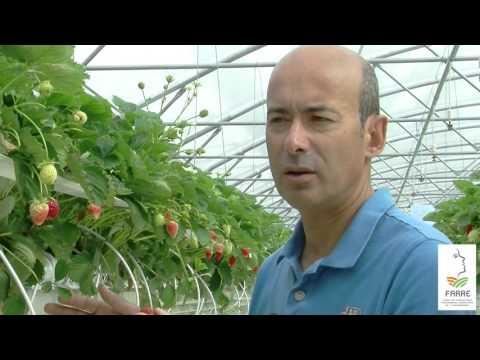 Gestion de la nutrition et de l'irrigation de fraises hors-sol