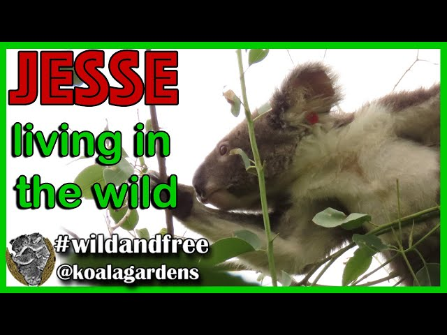 Koala 🐨🌿✅ escape artist Jesse is still going strong. Let's check one awesome little koala fella.