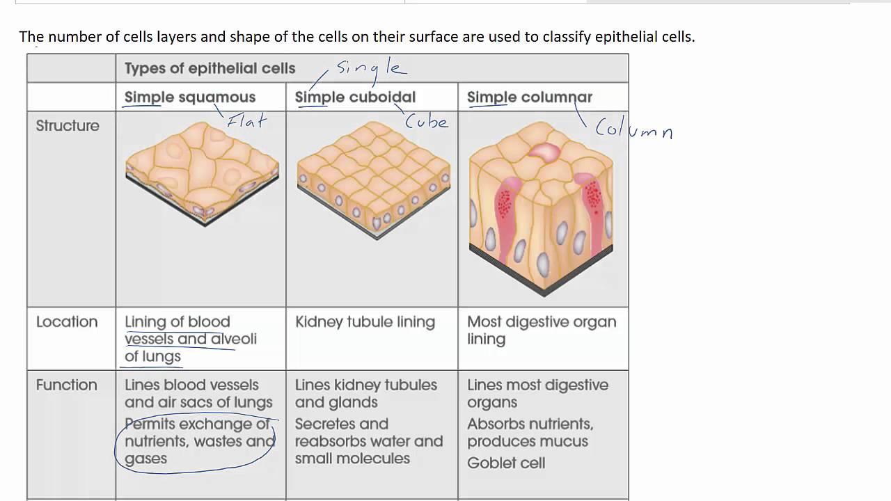 Tissue types - YouTube