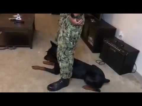 Army Trained Dog Doberman Pinscher Doing Some Tricks