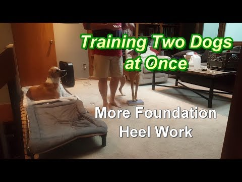 Training 2 Dogs at Once - more foundation heel work