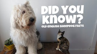 10 Interesting Old English Sheepdog FACTS┃Ed&Mel
