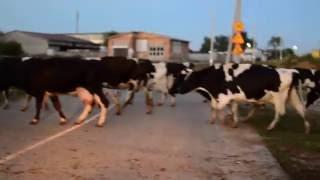 В мире животных.25 сезон 13 серия. Коровы.