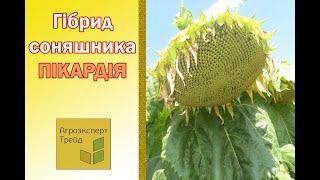 Подсолнечник Пикардия 🌻, описание гибрида 🌻 - семена в Украине