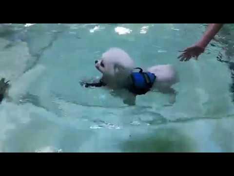 【Pet's Swimming Pool】Practice makes perfect! #maltese