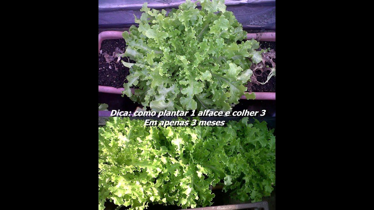 Excepcional Como plantar 1 alface e colher 3, em 3 meses dicas de jardinagem  MU91