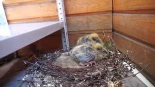 Птенцы голубя на балконе