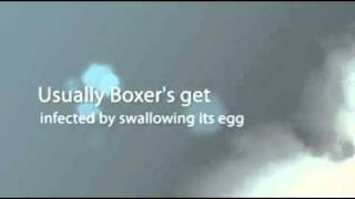 Boxer Dog Tips For Health