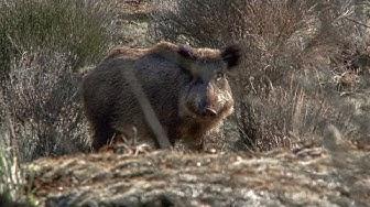 Imagen del video: Jabalies en Monteria