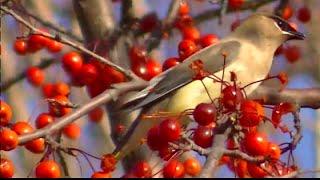Відео : Птиці для кішок 2 години