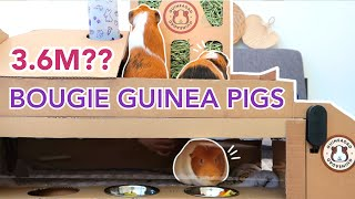 Guinea Pig Town Competitors List