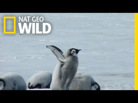 A Young Penguin's First Plunge | Wild Antarctica