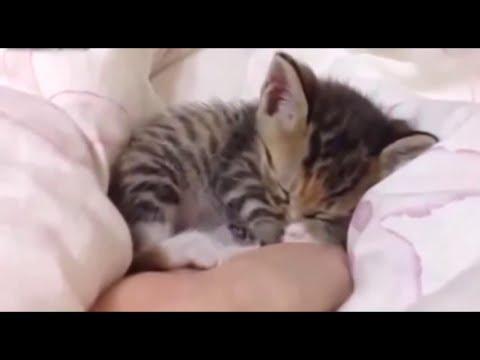 Котята курильского бобтейла -
