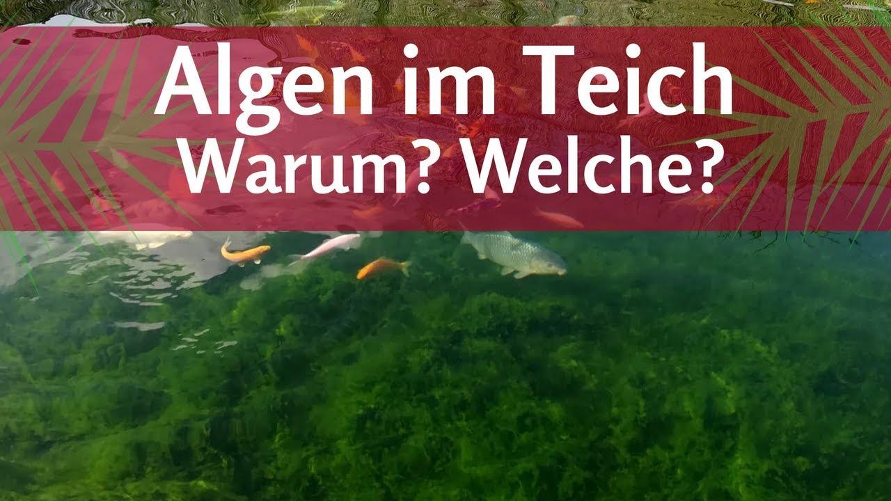 Warum algen im teich welche algen habe ich fadenalgen for Fadenalgen im teich