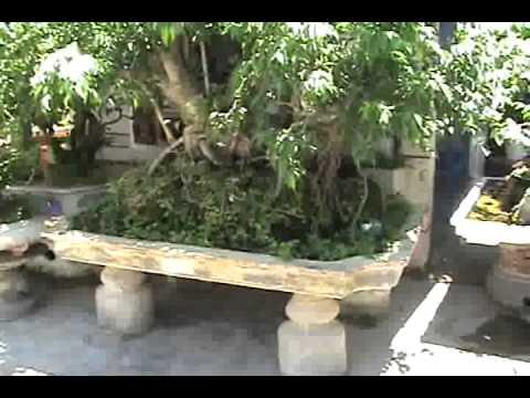 Cây  cảnh đẹp, cây sanh đẹp, cây sanh lâu năm Ngọc Quý  Video 2