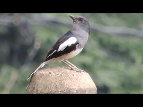 Oriental Magpie Robin singing