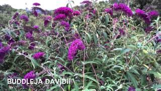 Buddleja davidii. Garden Center online Costa Brava - Girona.