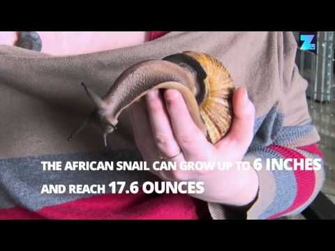 This slow pet is quick to love! Meet the 1 lb. snail