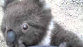 Koala climbs up my leg for a cuddle