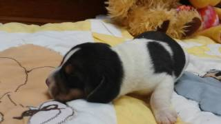 "5 day old Baby Beagle puppy ""Porthos"" barking"