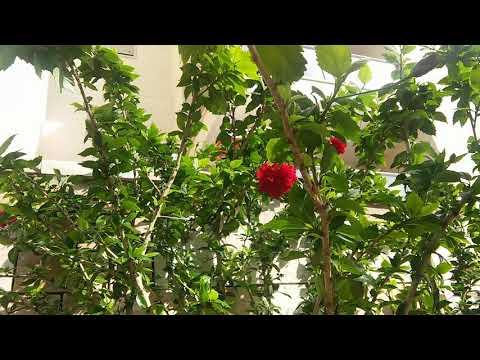 Цветы красный ГИБИСКУС красота #красные цветы#экзотика#гибискус