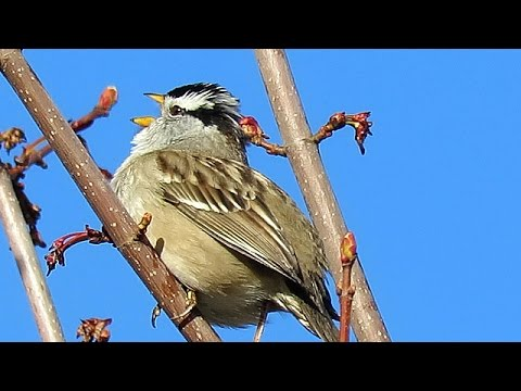 White-Crowned Sparrow Song (Zonotrichia leucophrys) - YouTube