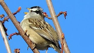 White-Crowned Sparrow Song  (Zonotrichia leucophrys)
