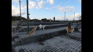 クルマでゆうきと向かった大館能代空港、秋田犬仲間で軽く集まろうとお...