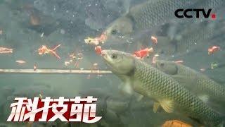 《科技苑》 20190612 喂辣椒 育脆稻 古法养鱼有新招| CCTV农业