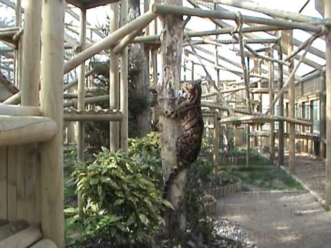 BCS - Clouded Leopards Ben and Mandalay