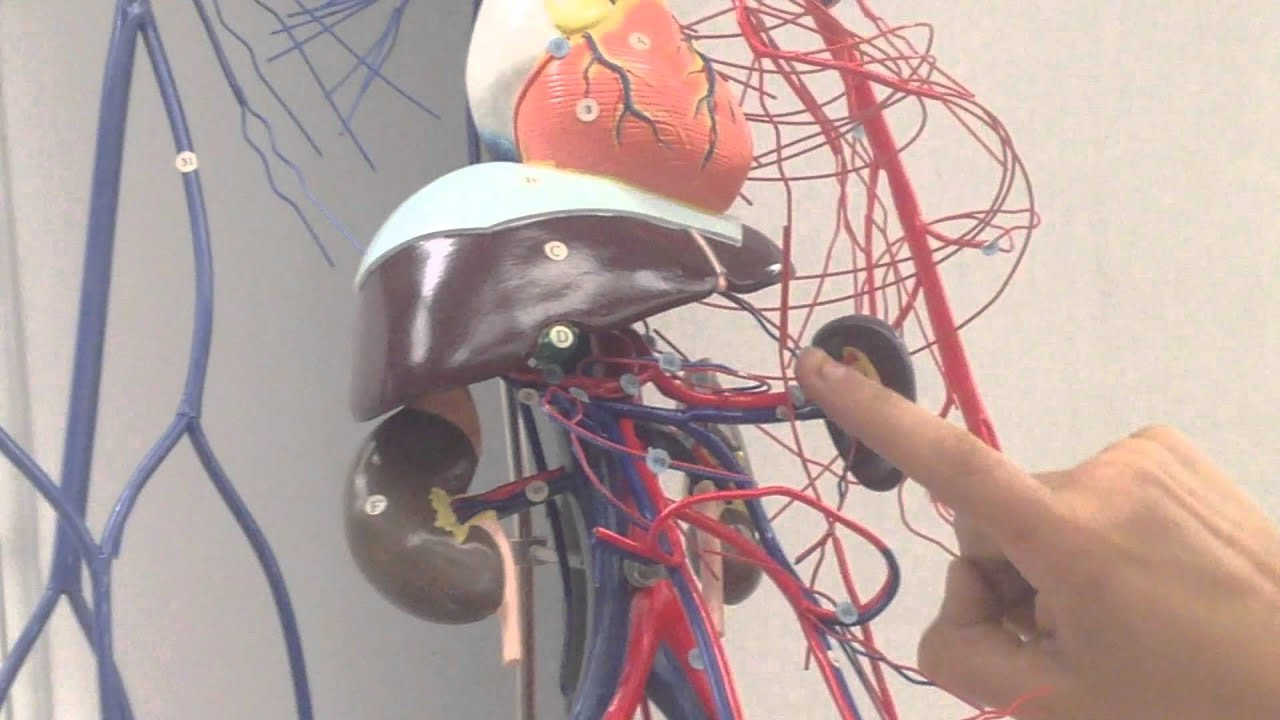 Whole body model of veins and arteries - YouTube
