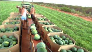 زراعة وانتاج البطيخ !تعرف على الخطوات