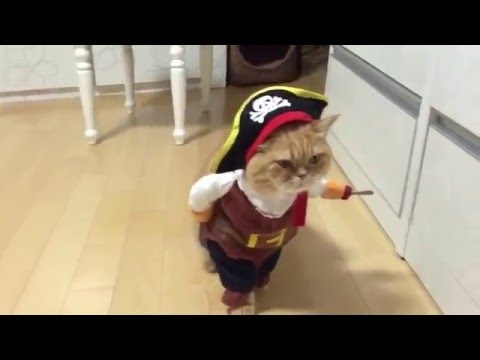 Cat pirate / Кот-пират