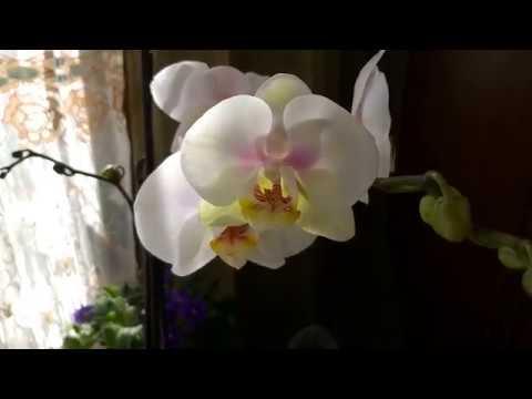 Уцененная орхидея - чудесное цветение через 3 месяца /Почему не стоит удалять цветоносы