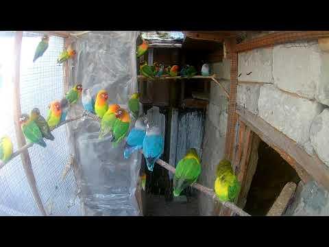 попугаи в вольерах // неразлучники фишера.масковые //  Masked Fisher Lovebirds