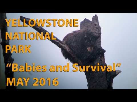 Yellowstone National Park - Grizzly Bears and Yellowstone Wolves - May 2016