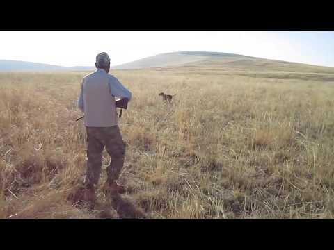 6 AYLIK BONO BILDIRCIN FERMA  solit pointer ile bıldırcın avları